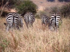 Vamos Bitchachos zebra butts Tanzania.
