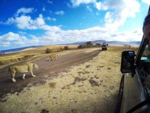 Vamos Bitchachos lion picture in Serengeti, Tanzania.