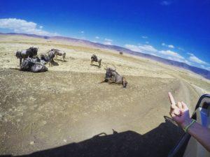 Vamos Bitchachos wildebeest flipping off in Tanzania, Africa.