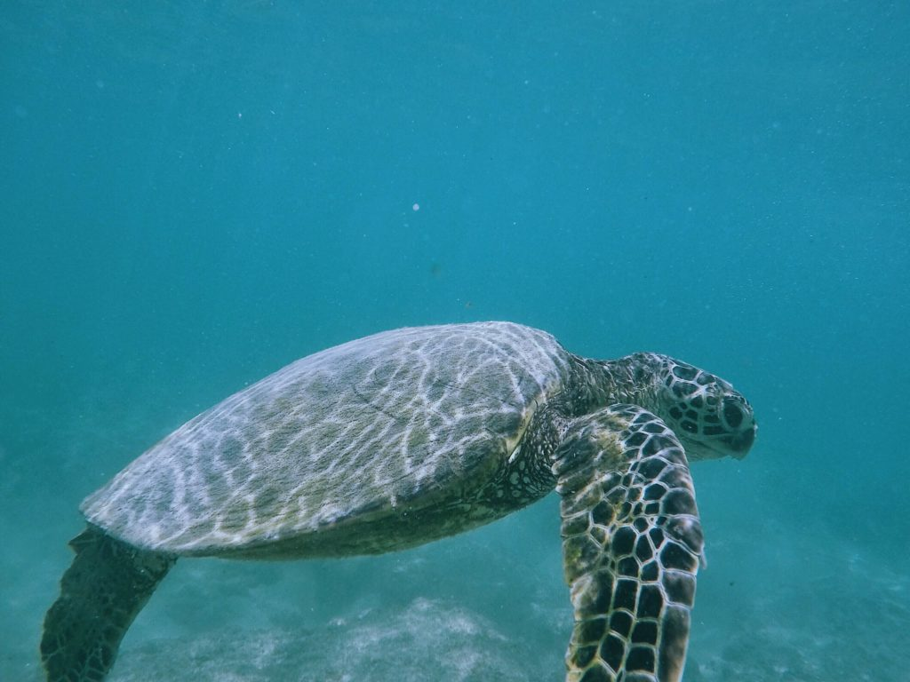 Hawaiian turtle underwater photography